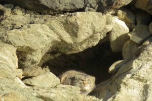 Pallas cat in Ladakh at Hanle 2018