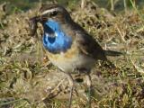 Birding in Ladakh-Himalayas