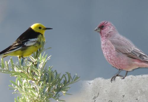 Birding trip in Ladakh-Himalayas