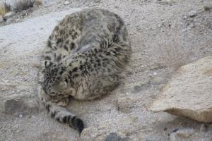 Snow Leopard Tours Leh Ladakh