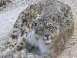 Snow Leopard Leh