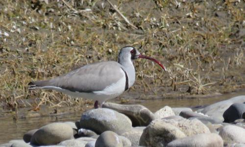 Birding Trip in Ladakh 13 Days