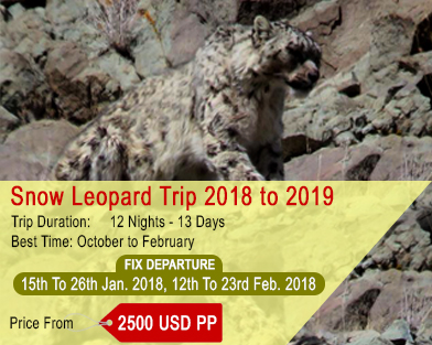 Snow Leopard Tour Ladakh, Fix Departure Snow Leopard Tour, Snow Leotard 2017-2018